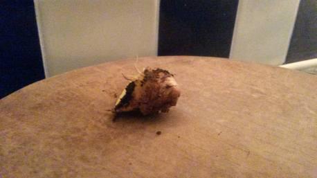 uk ginger harvest